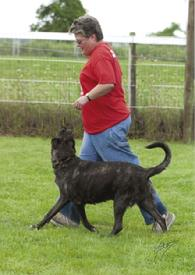 "Dutch Shepherd CH ""Snap"" at Cher Car Kennels"