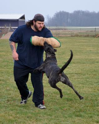 Dutch Shepherd UCD UAGI URO3 UJJ GRCH Cher Car�s Snap Decision BH CSAU CGC at Cher Car Kennels