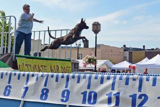 Dutch Shepherd CH Cher Car's Snap Decision earning her United Junior Jumper title in UAD Dock Jumping