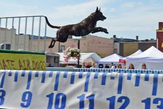 Dutch Shepherd CH Cher Car's Snap Decision earning her United Junior Jumper title in UAD Dock Jumping.