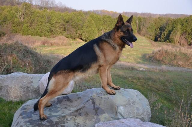 "German Shepherd CH ""Greer"" at Cher Car Kennels"