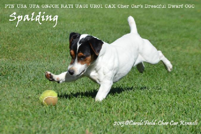 "Parson Russell Terrier ""Spalding"" at Cher Car Kennels"